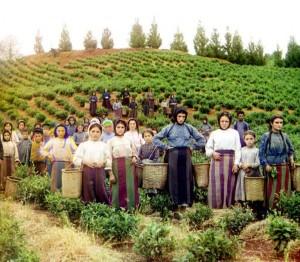Trabalhadores na colheita de plantas de chá, 1907-1915.