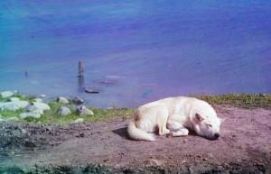 Um cão descansa à beira do Lago Lindozero, 1910.